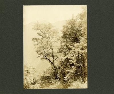Acer griseum Franch.
