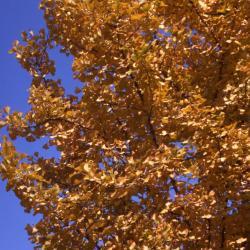 Ginkgo biloba (ginkgo), fall