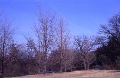 Ginkgo biloba (ginkgo) in winter
