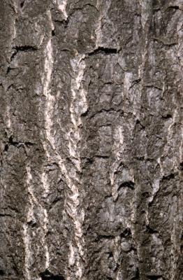 Ginkgo biloba (ginkgo), bark