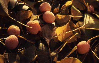 Ginkgo biloba (ginkgo), fallen leaves with ripe fruit
