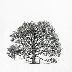 Tree of the month No. 14: Bur oak, Quercus macrocarpa