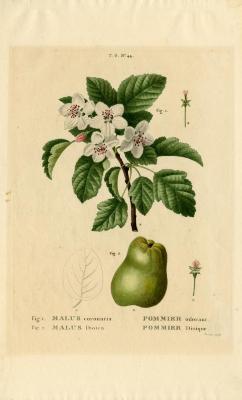 Malus coronaria, Pommier ordant and Malus dioïca, Pommier dioïque
