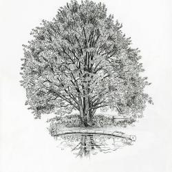 Tree of the month No. 22: Katsura tree, Cercidiphyllum japonicum