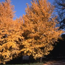 Acer miyabei 'Morton' (State Street maple), fall color