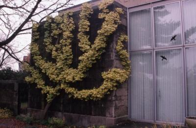 Ginkgo biloba (ginkgo), espalier with fall color