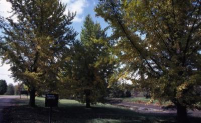 Ginkgo biloba (ginkgo), Japanese Collection at The Morton Arboretum