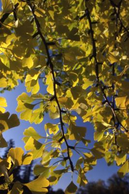 Ginkgo biloba (ginkgo), hanging twigs with leaves
