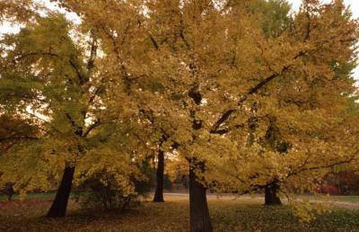 Ginkgo biloba (ginkgo), fall color