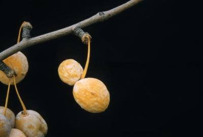 Ginkgo biloba (ginkgo), fruit