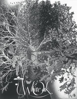 White oak, Quercus alba, Stage 10 (photostat)