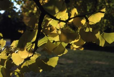 Ginkgo biloba (ginkgo), branch with leaves