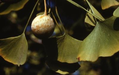 Ginkgo biloba (ginkgo), fruit and leaves