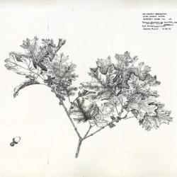 Hill's Oak (Quercus ellipsoidalis)