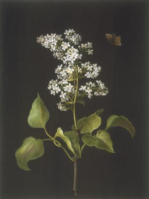 Syringa vulgaris (white)