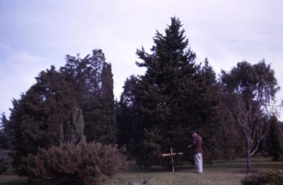 Juniperus virginiana 'Canaertii' (Canaert eastern red-cedar), Roy Nordine studying grafted tree