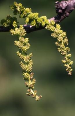 Juglans nigra (black walnut), flower