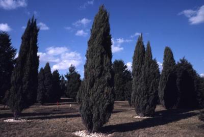 Juniperus scopulorum 'Skyrocket' (Skyrocket Rocky Mountain juniper)