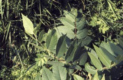 Juglans nigra (black walnut), leaves