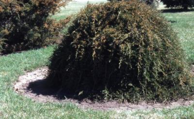 Juniperus virginiana 'Pendula' (Weeping eastern red-cedar)