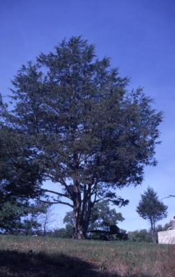 Juniperus virginiana (eastern red-cedar), near picnic bench