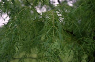 Juglans nigra 'Laciniata' (Cut-leaved black walnut), leaves