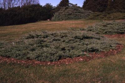 Juniperus virginiana 'Silver Spreader' (Silver Spreader eastern red-cedar)
