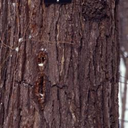 Juglans nigra (black walnut), bark in winter