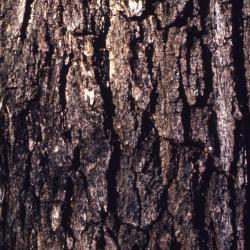 Juglans nigra (black walnut), bark