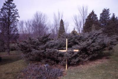 Juniperus virginiana 'Reptans' (eastern red-cedar), grafted shrub with wooden marker