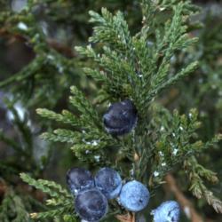 Juniperus virginiana var. crebra (eastern red-cedar), detail of leafy twigs with berrylike seed cones
