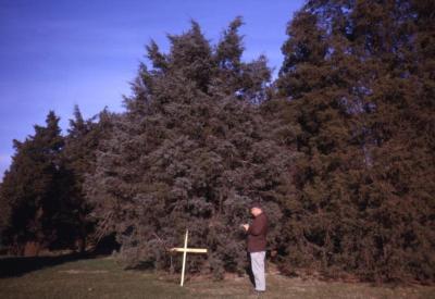 Juniperus virginiana 'Glauca' (Blue eastern red-cedar), Roy Nordine studying grafted tree