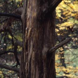 Juniperus virginiana (eastern red-cedar), bark