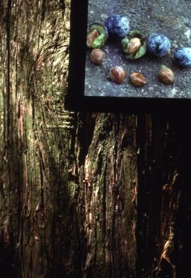 Juniperus virginiana var. crebra (eastern red-cedar), bark and seed detail