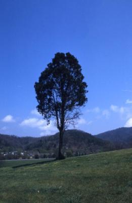 Juniperus virginiana (eastern red-cedar), on hill