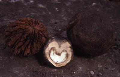 Juglans nigra (black walnut), nuts