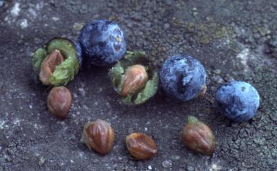 Juniperus virginiana var. crebra (eastern red-cedar), seeds and cones