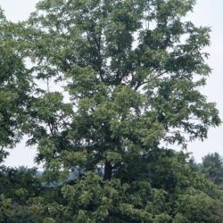 Street trees in suburban Chicago