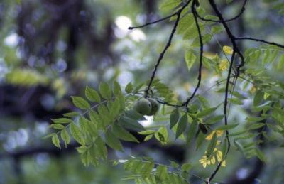 Juglans nigra (black walnut), fruit and leaves