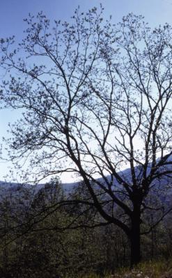 Juglans nigra (black walnut), spring