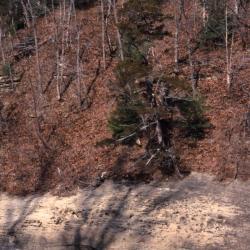 Juniperus virginiana (eastern red-cedar), creek side