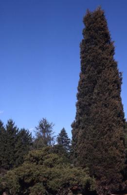 Juniperus virginiana 'Nova' (Nova eastern red-cedar), spring