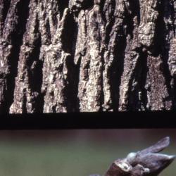 Juglans nigra (black walnut), bark and twig