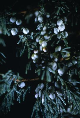Juniperus virginiana 'Glauca' (Blue eastern red-cedar), berry-like seed cones