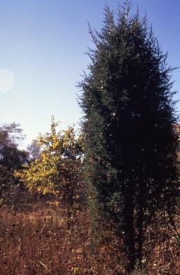 Juniperus virginiana var. crebra (eastern red-cedar)