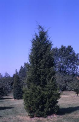 Juniperus virginiana 'Canaertii' (Canaert eastern red-cedar)