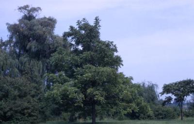 Juglans nigra (black walnut), summer