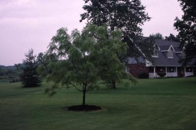 Juglans nigra 'Laciniata' (Cut-leaved black walnut), near residence in summer