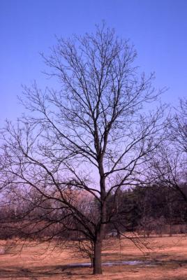 Juglans nigra (black walnut), winter