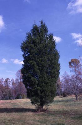 Juniperus virginiana (eastern red-cedar)